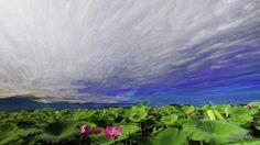Time-lapse Photography - Tainan Baihe Lotus 白河蓮花