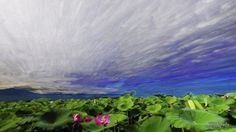 Time-lapse Photography - Tainan Baihe Lotus 白河蓮花