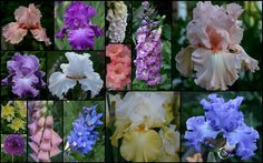 TALL BEARDED IRIS AND COMPANION PLANTS FROM MY FLOWER BEDS