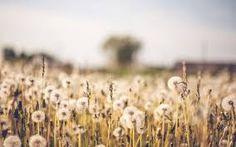 sepia dandelions - Google Search