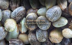 Hemp seed oil is bolstering high amounts of essential fatty acids, and is…