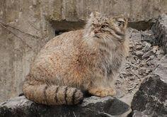 Berita Bulan: 8 Spesis Kucing Hutan Yang Mempersonakan