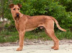 Originalmente chamada de Irish Terrier, e hoje denominada oficialmente Terrier Irlandês, é possivelmente a mais antiga de todas as raças caninas irlandesas. Mas os registros são escassos, sendo difícil a comprovação.   #IrishTerrier #Raçadecachorro #TerrierIrlandês