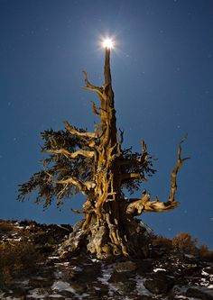 Christmas Tree - David Clapp This is a 4000 year old bristlecone pine tree photographed in moonlight and light painted with a head torch. Mother Earth, Mother Nature, Pine Seeds, Bristlecone Pine, Magical Tree, White Mountains, What A Wonderful World, Trees And Shrubs, Light Painting