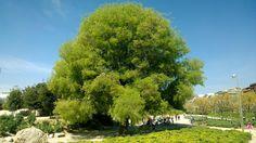 Roble centenario en el Parque de la  Arganzuela @TuArbolenelMund @arborsmarty   @Arganzuela_Mad  #Madrid