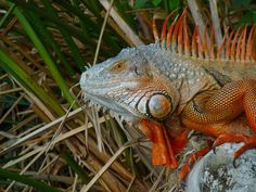 Iguana<3<3