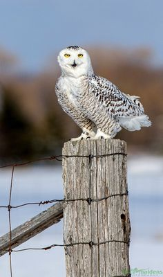 Snowy Owl - What are you looking at?