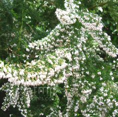 Erica arborea - 'Alpina' (Tree Heather)