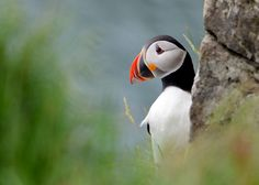 Photo Peeping Puffin by Yoram Shochot on 500px