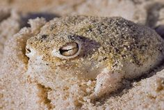 The Desert Rain Frog is an unusual little frog native to a small area in Namibia and South Africa. It has eyes that buldge out of its head, a short snout and limbs, and a puffed up appearance. But what is most peculiar to this species is their high-pitched distress call that most resembles a squeaky pet toy!