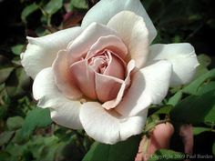 Hybrid Tea Rose 'Grey Pearl'~ Photo © Paul Barden for Rogue Valley Roses in Oregon (specializing in antique, rare and exceptional roses)
