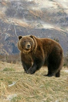 Big Roaming Grizzly Bear!