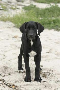 תמונות  Broholmer dog - FXP