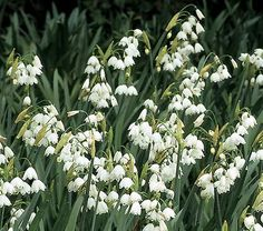 What species of flower are June lilies or white narcissus?