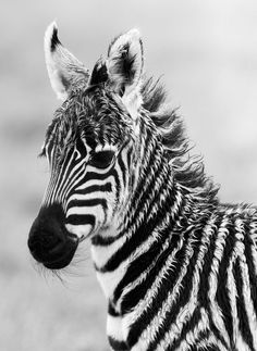 Zebra foal (by Denzil Mackrory) https://www.facebook.com/wildlifetourisms