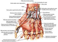 Anatomia: músculos da mão.