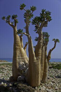 bottle tree in beach dihamri, soqotra island, unesco, yemen