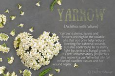 Yarrow (Achillea millefolium) ~ Yarrow's stems, leaves and flowers are high in the volatile oils that not only help reduce bleeding for external wounds, but also contribute to its ability to fight bacteria and fungal growth. Its anti-inflammatory properties also make it a useful herbal ally for inflamed, swollen tissues and for wound repair.