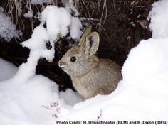 Biologists coax amazingly cute tiny rabbits back from the brink ofdisappearance | love!!