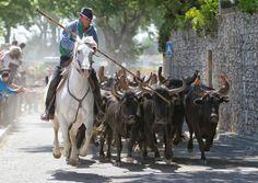 Taureaux en Camargue #tourismepaca #camargue #taureaux #bulls