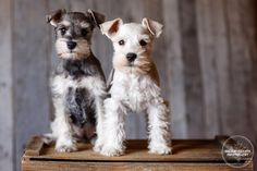 Two of the most adorable miniature schnauzer pups you ever did see! Photo by Shelley Paulson Photography
