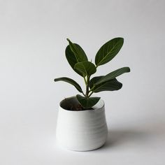 Ficus benghalensis LIGHT: bright, indirect.  WATER: when soil is dry about   1-2 inches down. Sensitive to over watering. Easier to care for than the Fiddle Leaf Ficus. National tree of India, the tree that Buddha achieved enlightenment while sitting under.