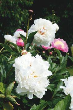 Vit rosenpion