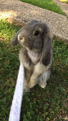 For those who are searching for a furry friend that is not only adorable, but simple to have, then look no further than a pet bunny. Cute Baby Bunnies, Funny Bunnies, Cute Baby Animals, Animals And Pets, Mini Lop, Holland Lop, Rabbit Run, Pet Rabbit, Cute Bunny Pictures