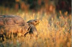 Tortoise Habitat recommends using edible substrate, since they will eat some - rabbit pelletsrecommends using edible substrate, since they will eat some - rabbit pellets Tortoise Food, Tortoise Habitat, Sulcata Tortoise, Tortoise Care, Tortoise Rescue, Turtle Habitat, Tortoise Turtle, Rabbit Pellets, Russian Tortoise