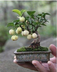 See bonsai can fruit.  Awesome