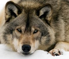 Some wolves are terribly polite about sayin anything offensive, & act if they were inviting you to some party.