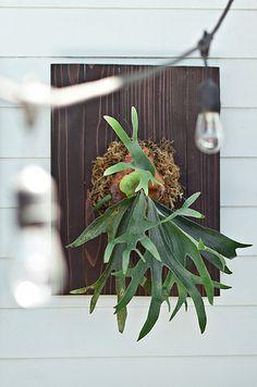 Staghorn fern (Platycerium andinum)
