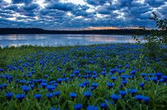 Ангелы, пролетая над землей, роняют на нее голубые цветы, чтобы люди не забывали о Небе . . .