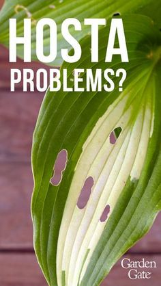 Common hosta problems: Are you wondering what's wrong with your hosta? We'll help you deal with common problems and make sure your hostas always look great. Shade Garden Plants, Hosta Plants, Garden Insects, Garden Pests, Plant Pests, Jardins D'hostas, Container Gardening, Gardening Tips, Vegetable Gardening