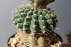 Gy. Quehlianum (f1) | da Hibisco1