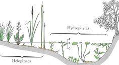Plantes Aquatiques et de milieux humides : plus de 150 espèces à votre disposition - Marcanterra Bois et Plantes