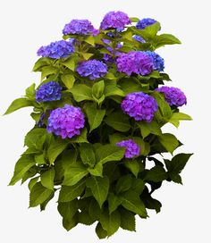 Tree Photoshop, Photoshop Design, Hydrangea Potted, Potted Plants, Purple Shrubs, Bee Balm Plant, Watercolor Inspiration, Flower Png Images, Pinterest Garden