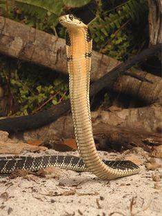 King Cobra Snake, Gila Monster, Poisonous Snakes, Colorful Snakes, Snake Venom, Amphibians, Macro Photography, Animal Kingdom, Wildlife