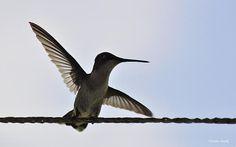 An Alabama Hummingbird...Verana Stark...Fine Art America