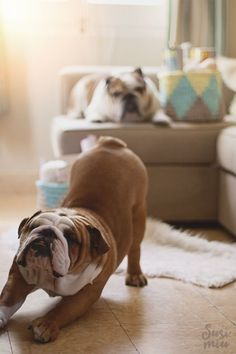 The major breeds of bulldogs are English bulldog, American bulldog, and French bulldog. The bulldog has a broad shoulder which matches with the head. British Bulldog, Old English Bulldog, French Bulldog, Animal Books, My Animal, Bulldog Puppies, Dogs And Puppies, Pet Dogs, Dog Cat