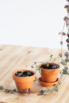 Dit plantje is een zeer geliefde klassieker. Het Lantaarnplantje groeit dan ook snel en kan heel lang worden. Als mijn Lantaarnplantje weer eens te lang is geworden, knip ik het helemaal tot de grond terug en laat het opnieuw uitlopen. Ik sta er altijd van te kijken hoe snel het groeit en het geeft ook altijd veel materiaal om te stekken. Hoe stek je het Lantaarnplantje? Je kunt het Lantaarnplantje op verschillende manieren stekken. Wees vooral niet bang om het een beetje terug te knippen… Garden Plants, Indoor Plants, Growing Greens, Plants Are Friends, Flower Quotes, Plant Care, Beautiful Landscapes, Plant Hanger, Planting Flowers