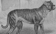 11 Dog Breeds That No Longer Exist | Mental Floss Bullenbeisser
