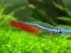 Neon tetras are a very popular freshwater fish that look great in planted tanks.
