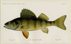 "1889 VERY RARE Denton ""Yellow Perch"" Matted Antique Fish Print - Pennsylvania Report T.H. Bean 11x14"" by AntiquePrintBoutique on Etsy https://www.etsy.com/listing/205676630/1889-very-rare-denton-yellow-perch"
