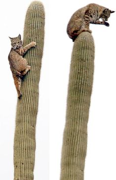 A bobcat sits on a saguaro cactus in Tucson, Arizona. The bobcat came halfway down the cactus only to be chased back up by another bobcat