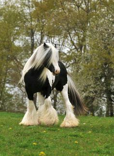 I have never heard of these horses. They are Gypsy Vanner Horses. Or at least horses hobbits would ride. Cute Horses, Pretty Horses, Horse Love, Beautiful Creatures, Animals Beautiful, Cute Animals, Gypsy Horse, Clydesdale Horses, Gypsy Women