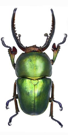 Lamprima adolphinae: poor guy, everyone steals his wings, - Arthropods - - Beetle Insect, Beetle Bug, Insect Art, Green Beetle, Cool Insects, Bugs And Insects, Mantis Religiosa, Insect Photos, Instalation Art