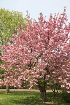 A spectacular Kwanzan cherry tree