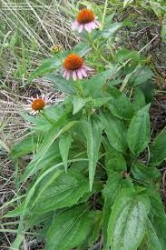 Image Result For Echinacea Plant Leaves Plants Plant Leaves Echinacea