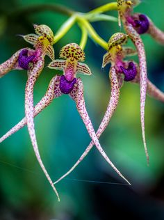 Orchids spinning a yarn on a Monday morning ~ Spider Orchid by Alan Shapiro